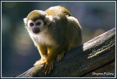 Squirrel monkey.....