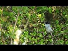 Vlog 15: De Oude Rijnstrangen waar planten de padden en vogels beschermen. https://youtu.be/O5yIbtA4nMA  @ARKNatuur #Zevenaar @GroeneRivier. Donderdag 14 april 2016. Via twitter @RoelDiepstraten