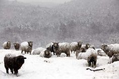 Sheep in the snow - taken by Kristin Nicholas at the family farm.  I love the shading in this photo!