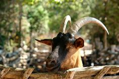 Provencal Goat - Photo Workshops in Provence #Provence @Ginger Nutmeg = Travel Blogger & Foodie #Photography
