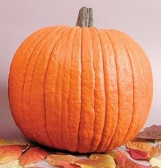 """Howden Pumpkin is the standard large pumpkin. Developed by John Howden of Massachusetts in the early 1970s, it defined """"the look"""" in big Halloween pumpkins with its deep orange color, defined ribs, and good handles. They vary in shape and weight, typically averaging 25 lb. or larger. Avg. yield: 1-2 fruits/plant. While still nice in a good year, the new hybrids are more dependable in quality and yield. Originator's stock.Ready to harvest in 115 days."""