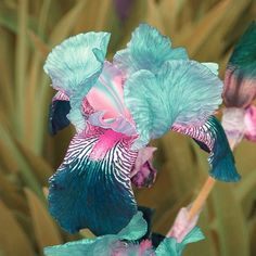 Wow, our iris garden we buy from has beautiful iris but never saw these. Beautiful Shades of Teal Iris. I want to plant some of these in my yard. Irises are so easy to grow, in my opinion one of the best bulbs for beginners Unique Flowers, Exotic Flowers, Amazing Flowers, Pretty Flowers, Iris Flowers, Colorful Flowers, Prettiest Flowers, Beautiful Flowers Garden, Exotic Plants