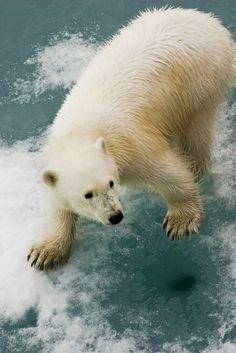 earth-song: POLAR BEAR by wildestanimal on Flickr