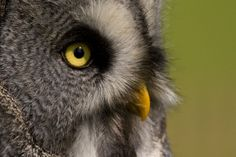 Great Grey Owl Close-up by BrianScott on Flickr.