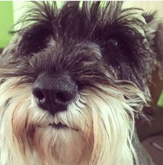 Besha #pet #dog #schnauzer
