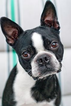Boston Terrier - Too cute!