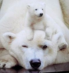 Polar bear with baby - Fotografie Tiere - Animals Photo Ours, Photo Animaliere, Cute Baby Animals, Animals And Pets, Funny Animals, Wild Animals, Beautiful Creatures, Animals Beautiful, Baby Polar Bears