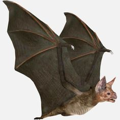 Vampire-Bat (Desmodus rotundus)Rigged and HD Color Texture for The Model+ 1 Animation (FlyCycle)This Model are in 2 formats: FBX and BLEND. Horses And Dogs, Animals And Pets, Cute Animals, Murcielago Animal, Bat Photos, Model Photos, Bat Anatomy, Bat Species, Human Figure Drawing
