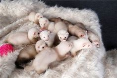 baby ferrets have oversized heads AND feet. Ohgosh. I want to have a baby ferret bed.