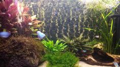 Aquarium met javamos plantje op de voorgrond.