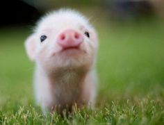Love these teacup piglets!