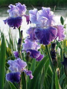 where dragonflies say goodnight iris 'Cross My Heart' . Beautiful Flowers Garden, Pretty Flowers, Purple Flowers, Beautiful Gardens, Iris Painting, Iris Garden, Bearded Iris, Belleza Natural, Daffodils