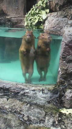 Capybara- I think I want one? They're cute. But always look a little shady. not sure if I can trust 'em.They are a rodent and are considered a food animal like rabbits. Animals And Pets, Baby Animals, Funny Animals, Cute Animals, Cute Creatures, Beautiful Creatures, Animals Beautiful, Hamsters, Rodents