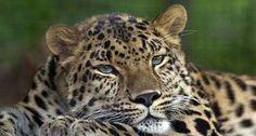 Leopardo Amur