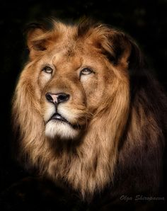 ~~ Leo wise ~~What Beauty, No Wonder It's the KING.....!!!!!!!