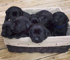 2 week old black lab puppies #LabradorRetriever