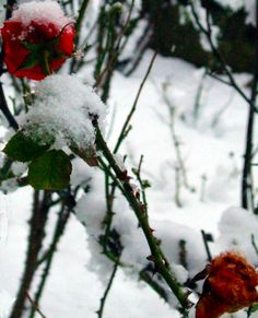 To make sure they go through the winter well and come back strong the following spring, there are a few things to do and keep in mind when preparing roses for winter. This article will help with that.