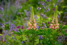 Pink Lupine with Nepeta 'Walker's Low' and Geranium 'Ann Folkard' - Spring 2011