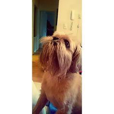 Morning puppy neck stretches  #Chewbacca #chewbaccadog #griffon #shitzu #brusselsgriffon #griffonbruxellois #everydayimbrusseling #squishyfacecrew #instadog #instagriff #dogsofinstagram #dogsofsydney #dogs #oldpuppy #bedbeard #beard #beardeddog #ilovemydog #rainraingoaway by reina.griffin