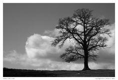 Solitary Oak (1330)