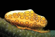 The flamingo tongue snail      This flamingo tongue snail, Cyphoma gibbosum, from the British West Indies is one of thousands of new species uncovered as part of the first Census of Marine Life.
