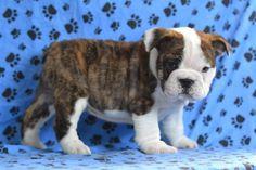 Cody - English Bulldog Puppy for Sale in Fredricksburg, OH - English Bulldog - Puppy for Sale