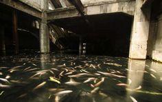 """Le centre commercial abandonné – Thaïlande À Bangkok, cet aquarium urbain géant a été découvert par un photographe, alerté par une rumeur locale. Dans cet ancien centre commercial, il est tombé nez à nez avec une """"quantité absolument renversante de poissons exotiques"""". Dans l'eau de pluie accumulée, un inconnu a introduit l'espèce de poisson, qui a proliféré. L'établissement de quatre étages, censé en atteindre onze, n'a jamais abouti. Les sept étages supérieurs ont été démolis en 1997 pour…"""