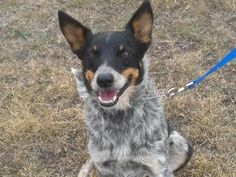 #TEXAS ~ meet D.O.G <3  Hello! I am looking for a new home. I am house-trained and walk well on a lease. I also know how to sit and enjoy eating treats, especially the ones that have been keeping my teeth nice and white.
