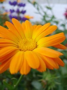 Octobers birth flower, the Calendula. Also the month my daughter was born. Would like to work this into a tattoo somehow.