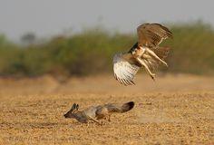 Buzzard attacked fox by Zahoor Ahmed  Flickr - Photo Sharing!