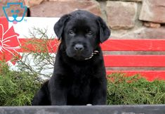 This baby is an English Black Lab ready to experience all new adventures. She is a social butterfly sure to be the talk of the town. Black Labrador Retriever, Labrador Husky, Retriever Puppies, English Labrador, English Springer, Rottweiler Puppies, Corgi Puppies, Yellow Lab Puppies, Black Puppy