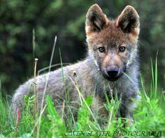 brown-wolf-pup.jpg?w=640
