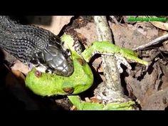 야생 동물 싸움 - 개구리 대 뱀 - 뱀 먹도록 개구리 - 뱀 공격 개구리 - 뱀 먹는 개구리