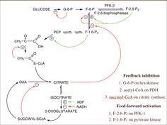 Allosteric Regulation in Energy Metabolism.  There are numerous levels of regulation in glycolysis and the TCA cycle but these are most representative and important.