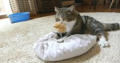 When Maru Has a Toy in His Mouth He Always Does This