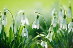 Hd Wallpaper Flowers Nature Snowdrops Spring Scaled - Go Wallpapers Bokeh Wallpaper, Flower Wallpaper, Wallpapers, Nature Plants, Flowers Nature, Spring Plants, Spring Flowers, Flower Pictures, Nature Pictures