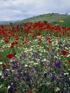 Poppies and Wildflowers on Roadside Between Konya and Antalya, Konya, Turkey