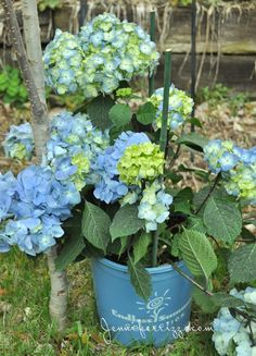 Beautiful blooms with the Endless Summer® hydrangea and landscaping my front walk... - Jennifer Rizzo
