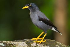 White-vented Myna (Acridotheres javanicus) On a rock.