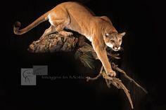 mountain lion taxidermy - Google Search