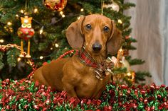 Christmas Red Dachshund Canvas Print / Canvas Art by Mary Griffin Red Dachshund, Dachshund Puppies, Weenie Dogs, Chihuahua, Daschund, Doggies, Christmas Animals, Christmas Dog, Christmas Dachshund
