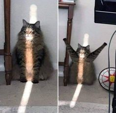 Praise The Sun - World's largest collection of cat memes and other animals Funny Animal Memes, Cute Funny Animals, Funny Animal Pictures, Cute Baby Animals, Cat Memes, Funny Cute, Animals And Pets, Cute Cats, Funny Memes