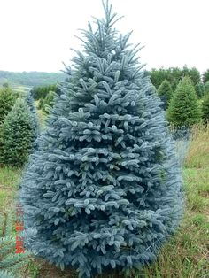 Blue Colorado Spruce Brett Wants One In The Back Yard Of Our New
