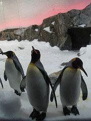 King Penguins at Melbourne Aquarium
