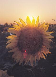 courtesy National Sunflower Association
