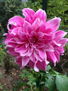 Pink Dahlia, Flora, Plants, Pink, Plant, Pink Hair, Dahlias, Roses, Planets