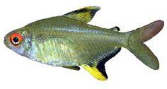 Peixes Tetra, Freshwater Aquarium Fish, Pisces, Fresh Water, Pets, Animals, Barbershop Ideas, Black, Life