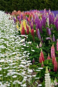 Garden of Shasta Daisies and Lupines. Shastas mix so effortlessly with other perennials that no garden should be without them! A plant that is easily grown in average, well-drained soils in full sun. Lupines are a wonderful old-fashioned flower.