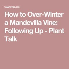 We've had a lot of questions about over-wintering the mandevilla vine. Here, Sonia Uyterhoeven sits down to answer them all!