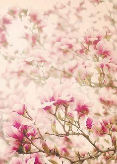 Pretty pink magnolias.